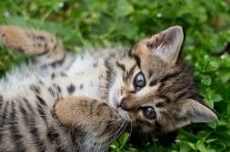 tabby-kitten-1517475__340